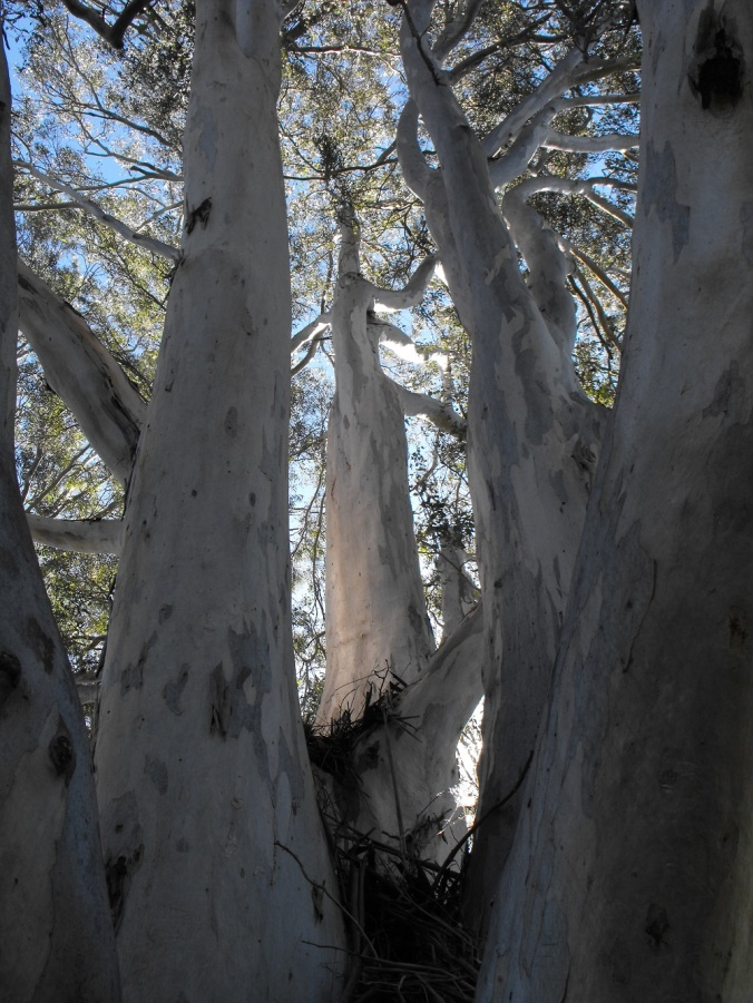 gum tree branches