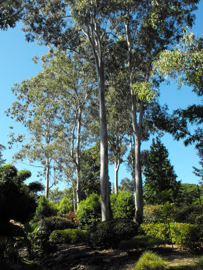 gum trees in Japanese gardens