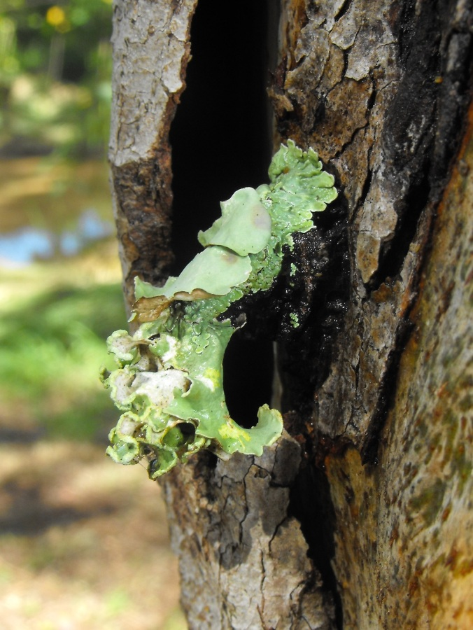 lichen on gum tree