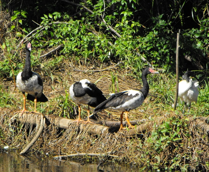 magpie geese 3