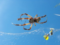 orb weaver spider in sky
