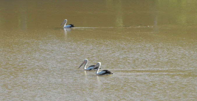 Pelicans in the Brisbane River