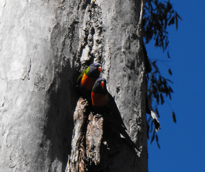 Rainbow Lorikeet nesting pair