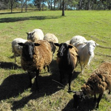 sheep at fence