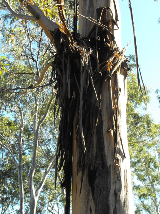 stringy bark