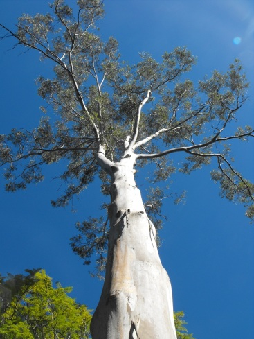 Tall gum at Nerima Gardens