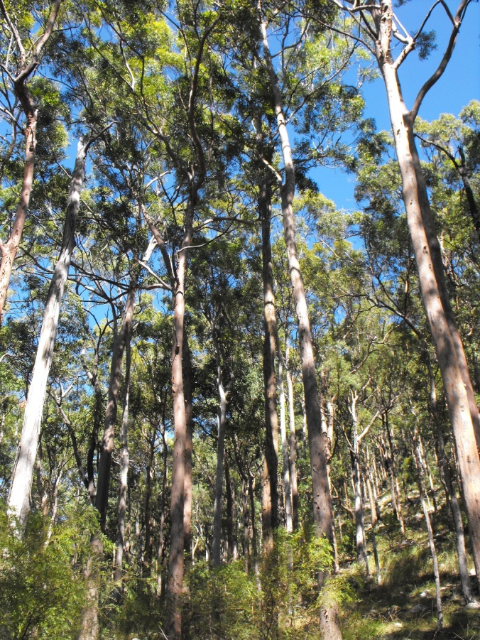 Tall gum tree forest - Mt Maroon