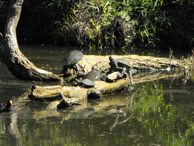 turtles at Sherwoon Arboretum