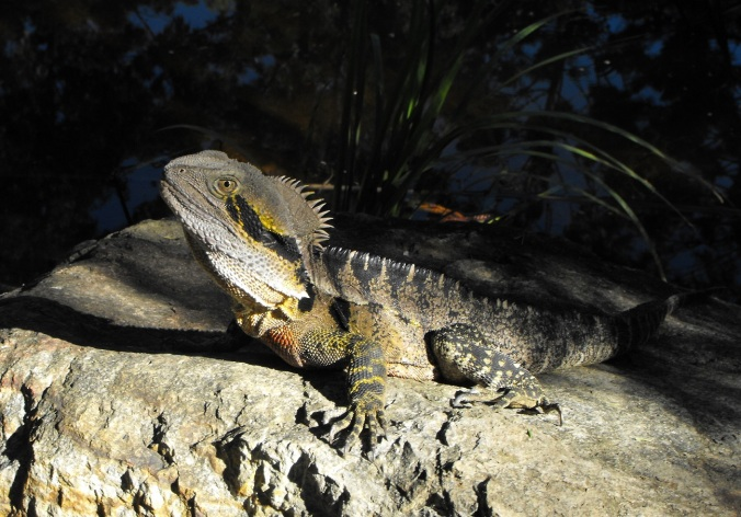 water dragon on rock at Nerima Gardens
