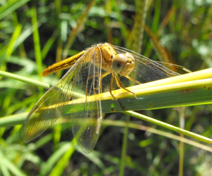 yellow dragonfly 2