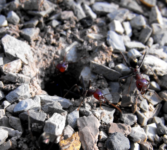 ants at castle hill 1