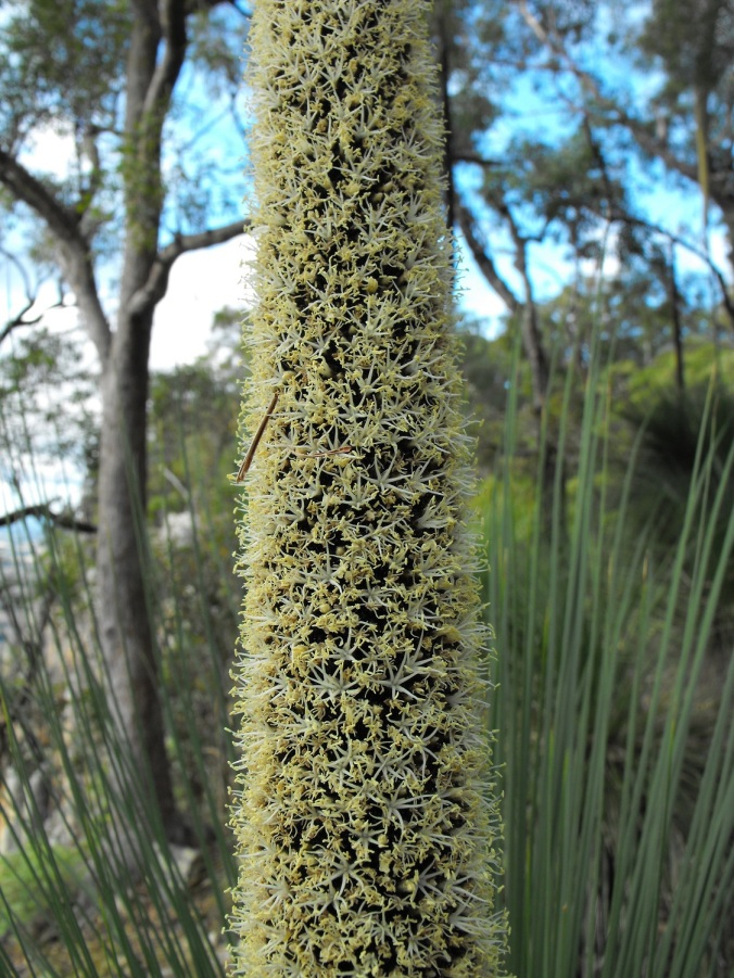 grass tree flower 1