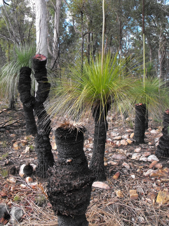 grass tree old trunks 5