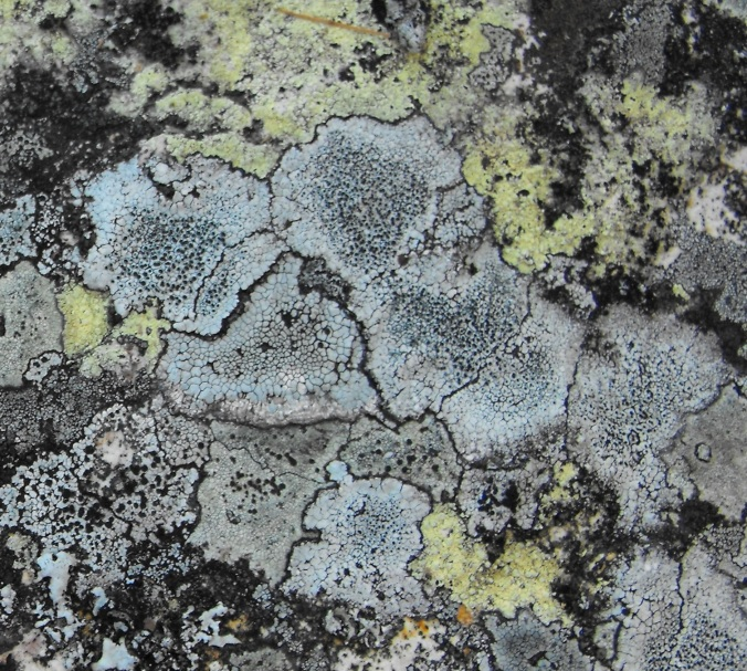Lichen at Mt French 6