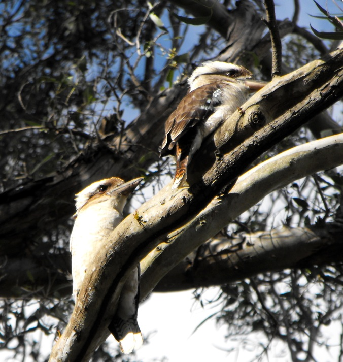 Peak Crossing kookaburras