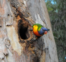rainbow lorikeet nest