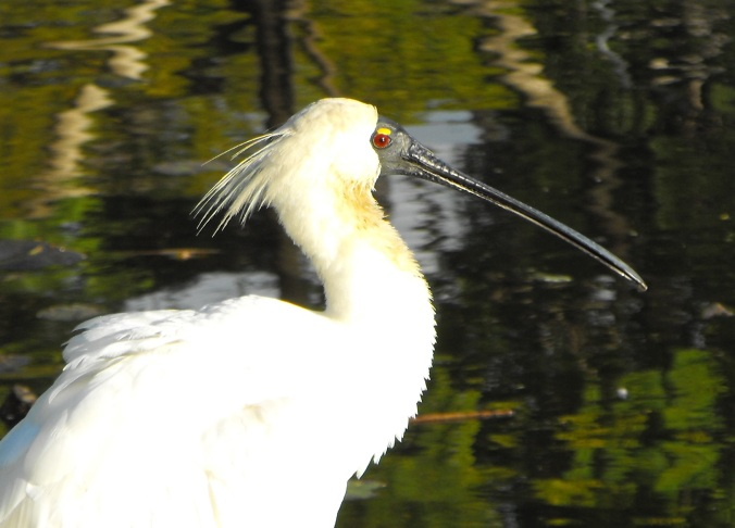 royal spoonbill 5