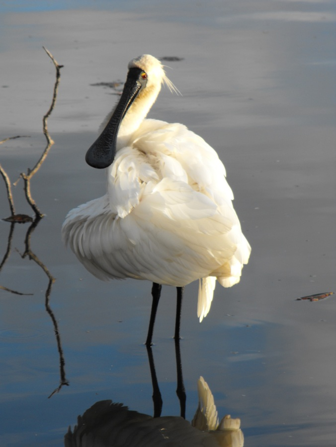 royal spoonbill2