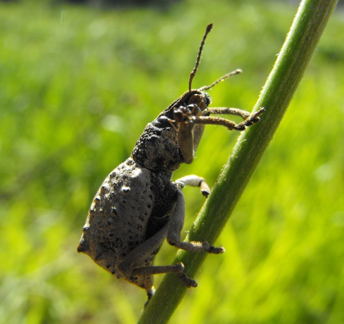 weevil on stalk