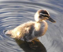 Wood duck duckling
