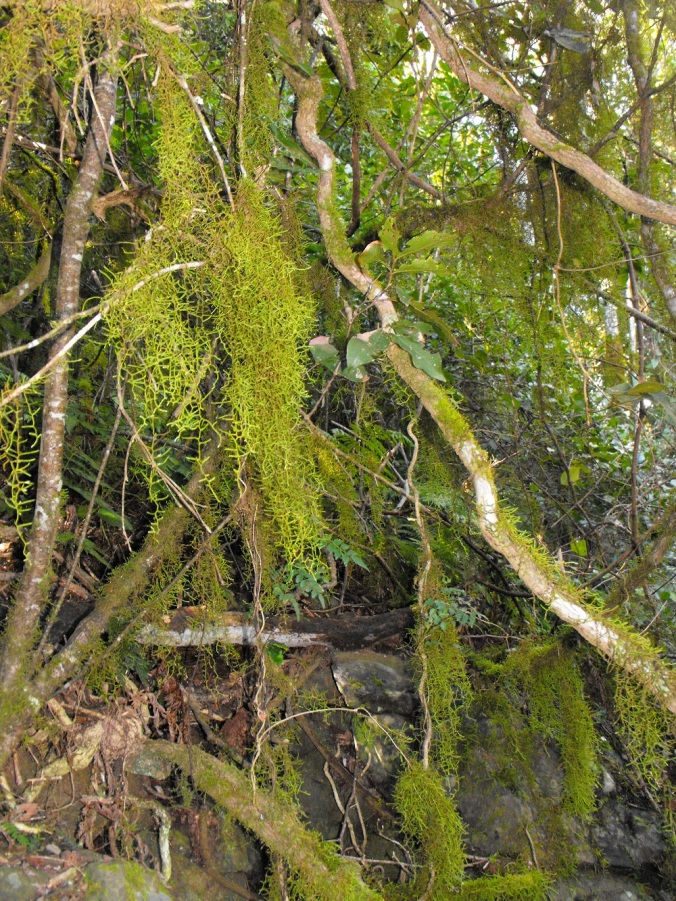 moss hanging from btanches and roots Mt Cordeaux