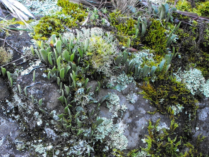 Tiny plants Mt Cordeaux