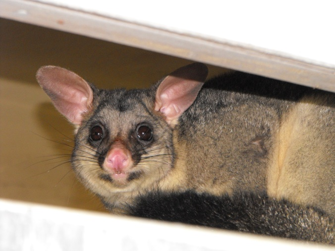 Brushtail possum in my garage 1