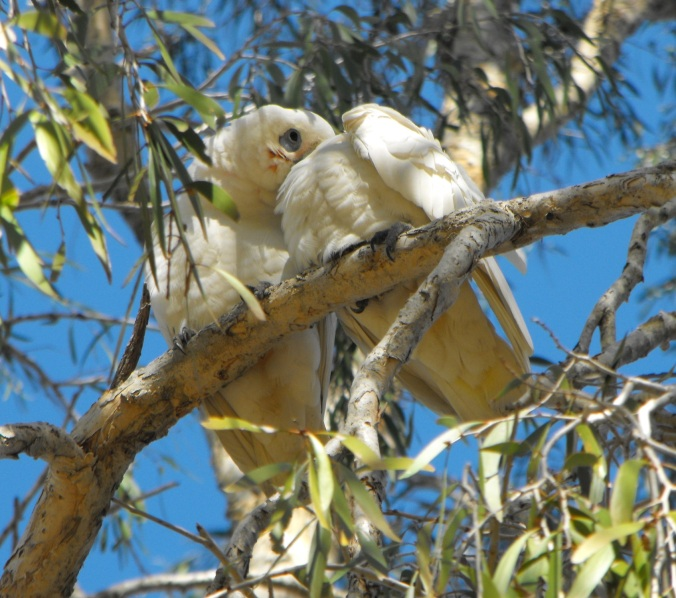 corella couple Sandgate