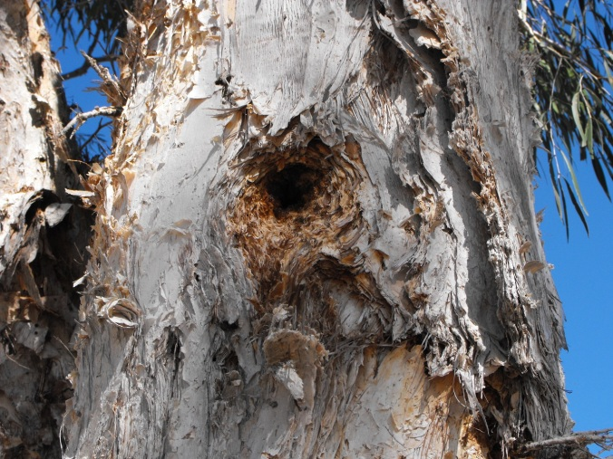 Corella holes in paperbark tree Sandgate