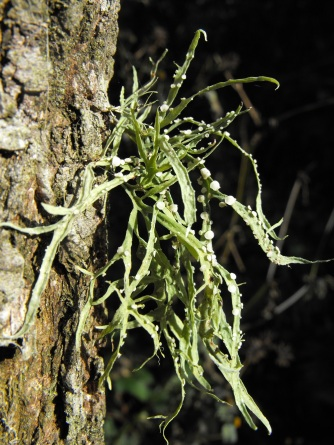 Epiphyte purlingbrook falls