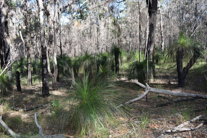 grass trees Tooheys Forest