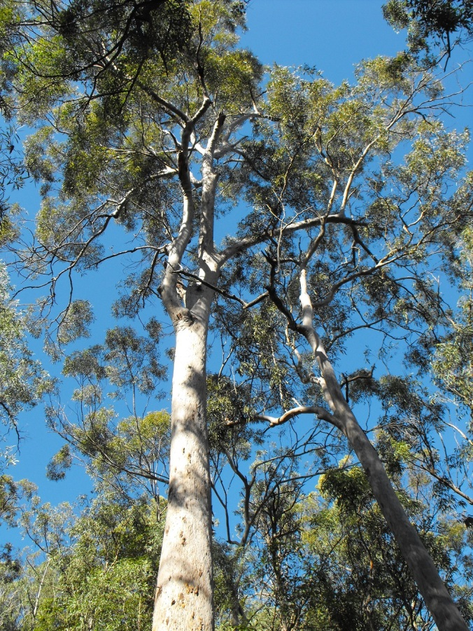 Mt Gravatt lookout trees