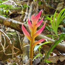 Pink leaf in rainforest