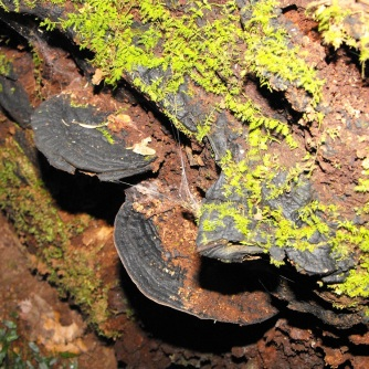 Purlingbrook Falls bracket fungi