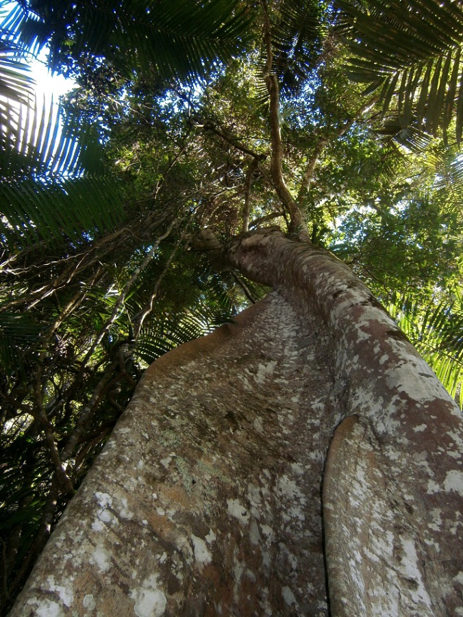 Fluted trunk of Giant Stinging Tree