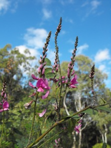 purple flowers Mt Gravatt
