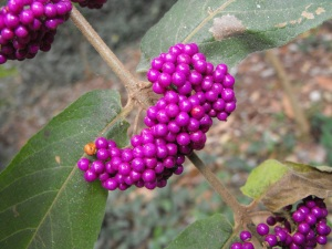 Purple berries - Velvet leaf