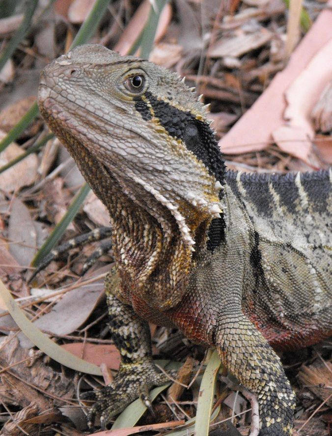 Eastern Waterdragon