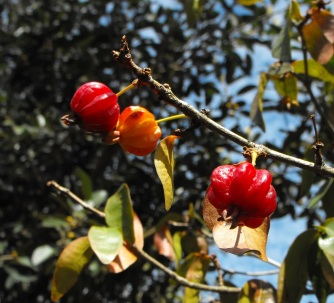 Brazilian cherry fruits