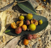 Australian native fig fruit