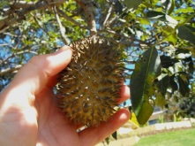 Flindresia spikey fruit