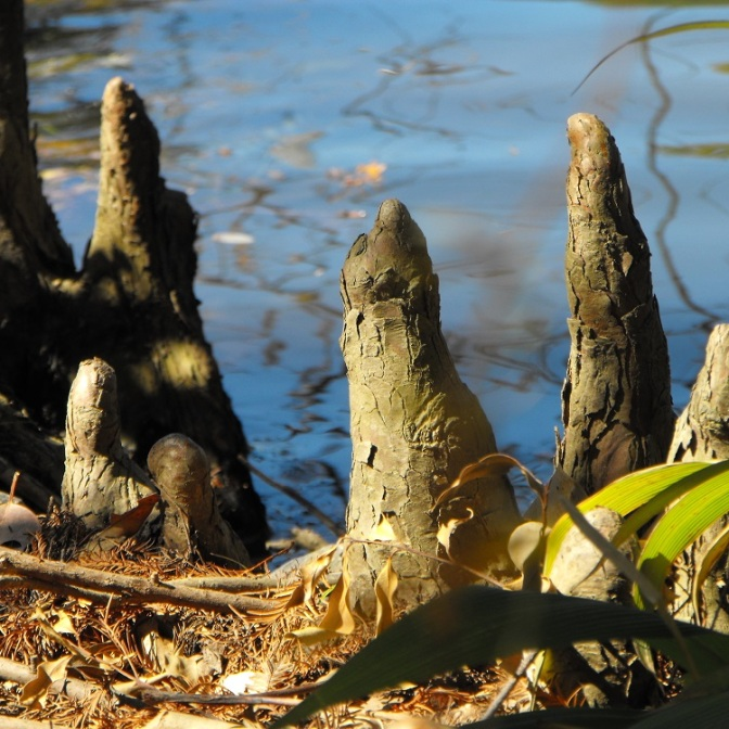 Swamp cypress roots