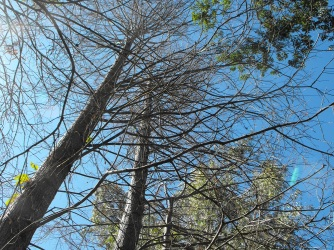 Swamp cypress are deciduous