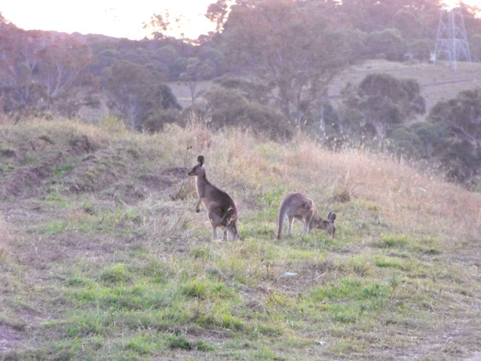 Kangaroos grazing at White Rock