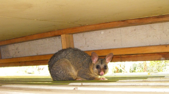 brushtail-possum-Australia