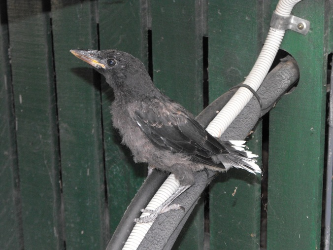 currawong-chick