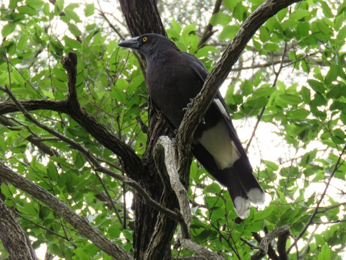 currawong-in-tree