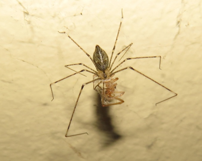 daddy-long-legs-spider