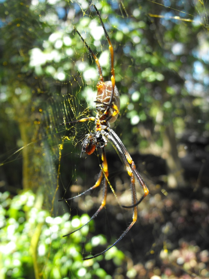 Golden-orb-weaver-eating