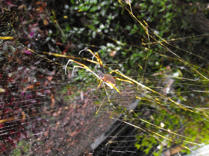 Golden-Orb-Weaver-Spider